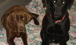 Pure Bred Lab Puppies for sale, the mom is a pure bred Black Lab which we mated with a registered Chocolate Lab, we have all Black Lab's.  Mom and dad have excellent temperment with kids, and are very gentle and quiet.  We have 1 male and 3 females.  If