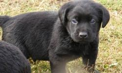 I have for sale  purebred CKC registered labrador retriever puppies- 3 males and 3 females. These puppies will be very easily trained, highly intelligent companions, whether it be for a pet or for a working companion. Both parents are very smart, and very