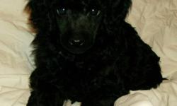 I have a black male miniature poodle puppy available to a pet home before Xmas.  He will be vet checked, vaccinated and dewormed.  He will be sold on a neuter contract w/ a 2 year health guarantee.  Parents are conformation champions and pedigree will be