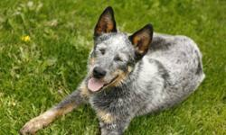1 year old blue heeler.  Needs to go to a ranch where he will be used.  Potential to be a great cattle dog with more time.  Good with other dogs, a bit shy but will warm up to you if you give him time.  Sadly have to get rid of him, don't have a job for