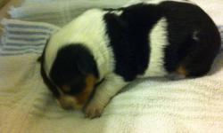 Blue heeler puppies for sale. Only 4 females available. Puppies will have first set of shots. Will be available February 21, 2012. This ad was posted with the Kijiji Classifieds app.
