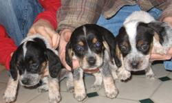 13inch Bluetick Beagle Pups--Born Nov. 8, 2011, ready to go Jan. 8, 2012. Father and Mother and both registered dogs with papers and are on site for viewing. They both have excellent bloodlines. Father was purchased from Sally Mcgee of Oak Hill Kennels,