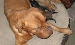 Purebred Bordeaux Mastiff mother, Father is a lab-cross. Great looking, good tempered puppies that are excellent family pets. 1st shots and de-worming included. Ready to re-home 8-weeks from date of birth. Please contact Phil @ 403-638-7800 for more