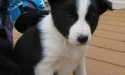 MALE Black &White Border Collie pup born October 14, 2011. $700.oo From Registered parents. for more info and more pictures and video and to see registration of parents please email or call. Pup will be micro-chipped and vaccinated and de-wormed. Includes