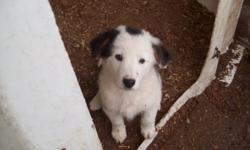 Border collie blue heeler cross pups only 2 males left. Mother is a working farm dog. Contact Mary 6134782340 $200 each