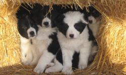 Eight pups born and raised around livestock. Have had ample space to roam and learn. Please Call 780-835-4740. acreage, farm or large lot only!