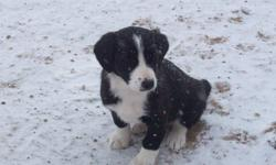 Border Collie Cross puppies, 4 male, 4 female. Playful, friendly, outdoor puppies. Great farm dogs.