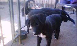 Border Collie / Lab Puppy, 1st shots, dewormed, vet checked, sturdy, strong, healthy, gentle temperament  to responsible home, puppy experience helpful. She is kennel trained, house trained, used to other dogs.  Both parents at home. $250 negotiable.