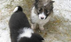 Seven puppies for sale; 5 male and 2 female. The males are brown/white and the females are black/white. They are about 6 weeks old right now. We are located on a farm in the Rosthern area. Please contact Steve at 232-1977 if you have questions or would