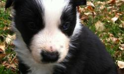 Border Collie pups from working dam and sire for sale to good homes. This ad was posted with the Kijiji Classifieds app.