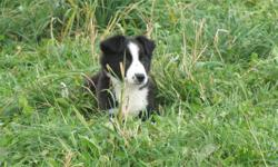 2 male border collie puppies born September 4th from 2 working parents on a beef and sheep farm. Puppies have had their first two needles, been vet checked and dewormed. Ready to go to their new homes anytime now. The picture of the three dogs shows the