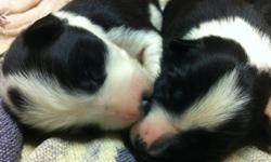 These puppies will go to APPROVED HOMES ONLY   Our two beautiful Border Collies have had their first litter! This litter is very special to us, so we would like to find the perfect 'working' homes for them. This doesn't mean you need to be a farmer, but