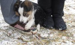Only 3 left - 1 male and 2 females! Ready to go - vet approved, dewormed and first shots included. Family raised. Can see mom on site. Price reduced. Border collies are one of the smartest breeds and are so easy to train. call Kelly @ 371-4977.