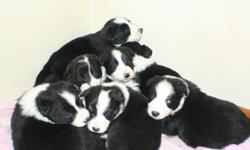 **** I have 2 border collies I decided to let have one litter to carry on the blood line Very smart If you type smartest dogs into google you will find border collies are #1..  Parent are 2.5 and 3.5 yrs old. I have both here and don't mind a viewing of
