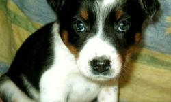 Sweet Border collie x puppies available to go to their new homes. Mom is a border collie and dad is a blue heeler. They are well socialized and are happy playful puppies. They will make great family pets. Will grow to a medium size. Dewormed. Delivery is