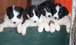 border collies puppies mom from N.B. and dad from Alberta will be vet checked and first needled before ready to go.     582 3739