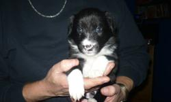 Three left. Pure bred Border Collies for sale. Two males one female Four weeks old Friday Jan,6th. $400.00 vet checked first needles and dewormed. Deposit is required. For more info please call 902-682-2430.