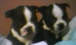 for sale 3 female and 1 male boston terrior puppies pure bread
