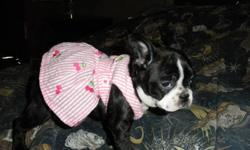 one brindle female ,calm, huggable ,pick of the litter ,female .will be about 21 lbs full grown, vetcheck , first shots done