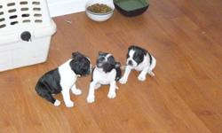 Boston Terrier puppies for sale.  Three males and two females still available.  Will be ready for their new loving (pre-approved) homes Dec.2.  $800 for males and $1000 for females.  Pics # 2 and 5 are females, #3,4 and 6 are males, and the last pics are