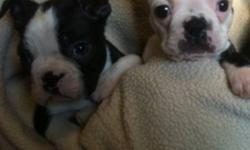 Beautiful Boston pups ready now. Contract and health guarantee. Dew claws removed. Utd vaccinations dewormings etc. two males and two females available. Come with lots of extras. Contact for more info. Application to adopt. This ad was posted with the
