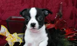 Beautiful markings and colors! Puppies in both pictures are females. These puppies have all of the Boston Terriers looks but will be smaller in size. Puppies come with a Health Guarantee, they have been dewormed and received their first, and second