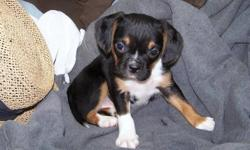 We have one female and six boys ready for their new homes. They have great characters and will be good for any family. They have a Boglen (Beagle X Boston) mom and a Boston Terrier dad. So each of our puppies are 3/4 Boston Terrier and 1/4 Beagle. They
