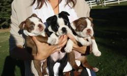 3 Boston Terriers puppies: Will come with first shots at time of sale. 1x Male red and white; 1x female red and white; 1x male black and white. Raised in a family home with children- would like the same home.Pictures of pups and parents( Kaiya--the mom: