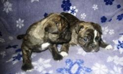 Beautiful little Bugs(1/2 Boston Terrier x 1/2 Pug) puppies, 1 male and 1 female, great personalities. They come with shots to date and deworming. Ready to go January 4th. To good pet homes only. For more information call 1-204-347-5517.