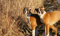 Must Go By Next Week-Paper Trained, Begun House Trng, First & Second Shots, Tails Docked, Dew Claws Removed, Vet Checked & Dewormer. Both parents 100% Boxer. Come with medical record, puppy dish and some food to get started. Very healthy and on top