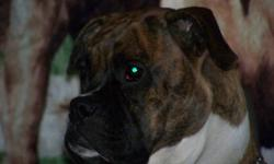 3 boxer puppies left for sale out of a litter of 8 Mom and dad are first and second picture. 1 female (3,4,5th pictures) 1 Male (6,7,8th picture) 1 Male (9, 10th picture) Mom is Brindle, Dad is Fawn with Black mask. $100.00 deposit is required to hold
