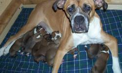 Boxer pups (10)....ready for Valentines!!!! $550 each and we require $100 down to hold it for you!! Contact me via email or by phone.... First come first serve!!! Serious inquiries only!!! (dad is in the last pic!)