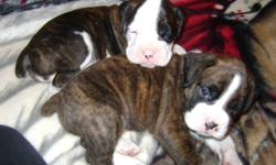 Start your new year off with a pure bred boxer ..only 4 more weeks ,then they will be ready to go to their new homes very cute and cuddly been around small children n dogs right from birth 3 females ,2 are white with spots and one is brindle 3 males ,2