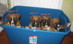 Boxer puppies for sale. 1 male, 1 female. Pups come with tails docked, first shots, vet checked and ONE YEAR HEALTH GUARANTEE!!. Mom is a reverse brindle boxer and Dad is a fawn boxer. Both live with us, are up to date on all shots, very healthy and are