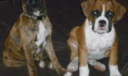 "CKC registered Flashy Fawn male & Brindle Female. Also may be AKC registered. Have both parents on site for viewing. Sire 60lb. 24"", Dam 21.5"" 60lb. Home raised with other dogs,cats & children. Well socialized. CKC registered breeder. Vet checked, dew"