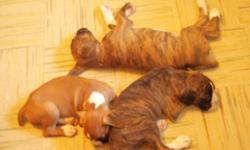 8 weeks old boxer puppies , 1st shots ready to go $700 for fawn puppies $800 for brindle puppies i have 3 females and 3 males if interested please call 1-306-764-0867 after 2:00 pm or email mailto:winter_cowgurl@hotmail.com