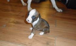 Hi i have 8 beautiful boxer puppies for sale. Will be ready to go to their new homes on oct 6 2011 There are 3 male and 5 females. There are 3 white with patches and 5 brindle. They are very healthy and playful. Come with tails docked and first shots.