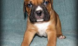 Our Boxers are parents to 8 beautiful Boxer Puppies. We have 1 Girls and 1 Boys left. They were born on October 28th, 2011. And will be ready to go to there forever homes December 23rd. Just in time for Christmas and a perfect Christmas Gift at that. We