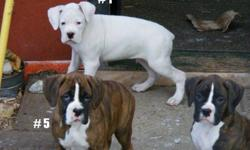 These beautiful boxers are a must see. These 4 males have been vet checked, had first shots and dewormer and are ready for their new homes. Tails have been docked and dew claws removed. Both parents are here to see. For any more pics or questions please