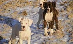 Boxer Puppies For Sale These 3 Handsome Devil's Have been Vet checked and have received Both their first and second shot's and have a clean medical record. allso in top physical condition lots of exercise and great food, mostly paper trained and used to