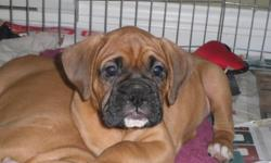 2 Male Boxers, born Oct 9th & ready to go. One flashy fawn and one fawn with black mask. Tails and dew claws done, first shots, vet check and up to date deworming. Fed a grain free / raw diet and well socialized. Call for more info 778 478 1907 or 250 870