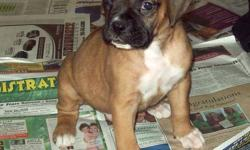 We have ONE female Boxer Puppy out of a litter of 8 left for sale. This healthy energetic puppy is a beauty and is looking for a loving home. Their tails are docked and they have had their second Vet check, first shots and deworming.   Seven have gone to
