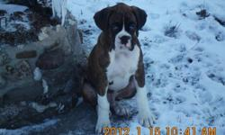 Available  Fancy Brindle Boxer Male . Tail has been docked and dew claws removed. He has had his 1st set of shots and has been dewormed. Pup has been well socialized, is very playful and affectionate. The pup is doing well with doing his business outside