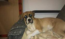 We have for 2 Female Fawn Boxer/ Bull Mastiff Pups, she is all vet checked, Shots, second shots, Tail Docked, Beautiful girl, She was at a home but the family is breaking up and they cant keep her. MUST HAVE KNOWLEDGE OF THE BREED and have a large yard