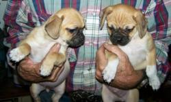 These cute little Pug x Chihuahuas look like minature Pugs with a little more muzzle.One male @ $150. and one female @ $200. 3 shots and dewormings.Call 724-2329 evenings or mornings. First come first serve.