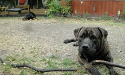 Bull Mastiff  Rotti Brindle Cute and Very Smart Fixed All Shots up to Date. Please call 414-9410.