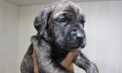 This cuties will be ready to go to their forever homes on December 20. They got their looks from mommy, she is a Mastiff. And dad is a Catahoula. Available are 2 brindles and 1 merle, all males. Great temperaments, we expect them to be quite big. We are