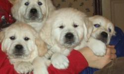 Quality, Champion sired, CKC registered golden retrievers for the discriminating show or pet home. We focus on health and trainability so you will have a happy loyal companion for years of family fun. Please visit us at www.peibackroadfarm.com cream