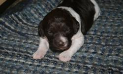 1 liver/white male(mostly liver in colour) brittany spaniel puppy available for sale. Will be CKC registered, dewclaws removed, tail docked, dewormed, have 1st vaccine, health checked by the vet, and come with a 30 month guarantee. Mother is mainly from