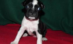 Loving Puppies for Loving Homes. Ready for Christmas and New Year A small deposit will hold a puppy for you Very affectionate,great with children. Easy to train.Very intelligent.One year written health guarantee Vet checked,First needles,revolution and